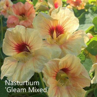 Nasturtium 'Gleam Mixed'