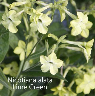 Nicotiana alata 'Lime Green'