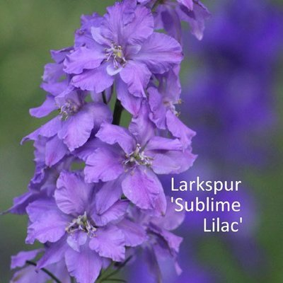 Larkspur 'Sublime Lilac'