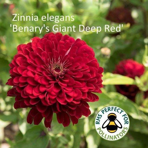 Zinnia 'Benary's Giant Deep Red'