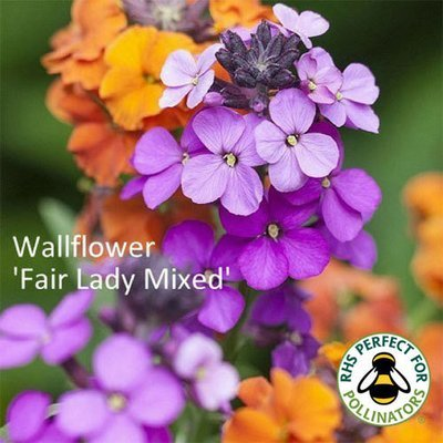 Wallflower 'Fair Lady Mixed'