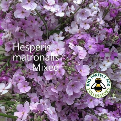 Hesperis matronalis 'Mixed'