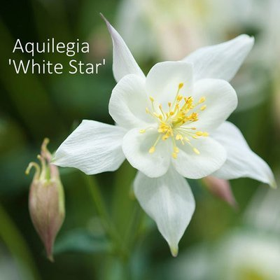 Aquilegia 'White Star'