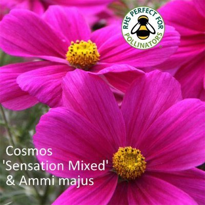 Cosmos 'Sensation' & Ammi majus