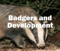 Badgers and Development (Hampshire): 10th November 2020