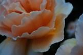Ryan Green 1_ petals