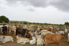Cattle being reared at Meriwau, Region Nine