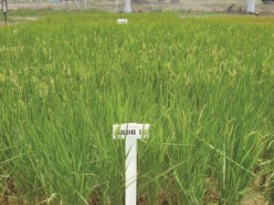 New rice variety being tested at the GRDB labs