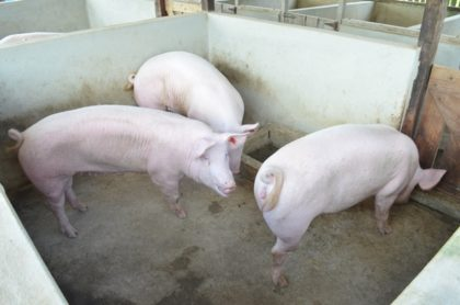 Toppigs Forty a high yielding swine breed imported from Suriname