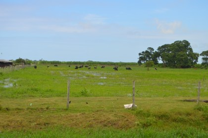Cattle grazing at the Guyana Livestock Development Authority's, Mon Repos facility
