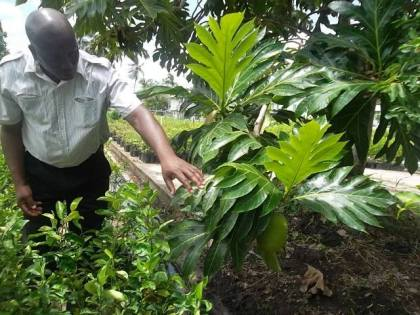 Permanent Secretary of the Ministry of Agriculture George Jervis finds a breadfruit during his visit to the National Agricultural Research and Extension Institute (NAREI