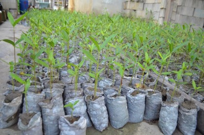 Mangrove seedlings which will restore the Better Hope to Sparendaam area under the Guyana Mangrove Restoration Project