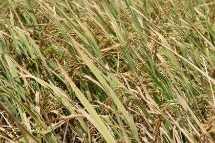 Aromatic rice just before harvesting