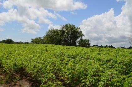 A cassava crop field at Parika Backdam