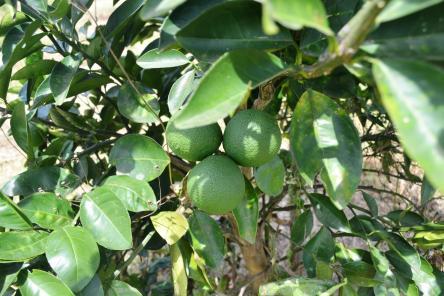 Lemons from NAREI's pilot orchard at Ebini