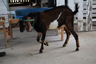 Large and small ruminant at GLDA's Mon Repos station.