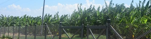 A lush plot of plantains and bananas.