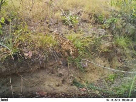 Jaguar in the wild (Photo courtesy of the Rupununi Wildlife Research Unit)