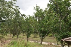 Acre of orange trees on the farm operated by Raynard Ward.