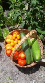 A day's harvest of tomatoes and cucumbers