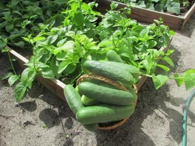 Cucumbers and calaloo grown in Sandiford-Clarke's kitchen garden