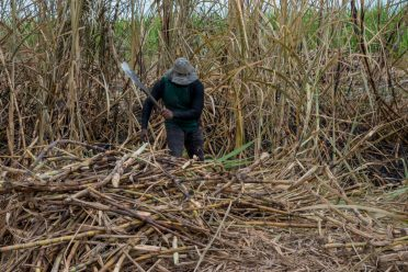 A cane harvester at work