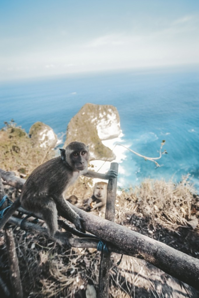 Monkey Nusa Penida Island