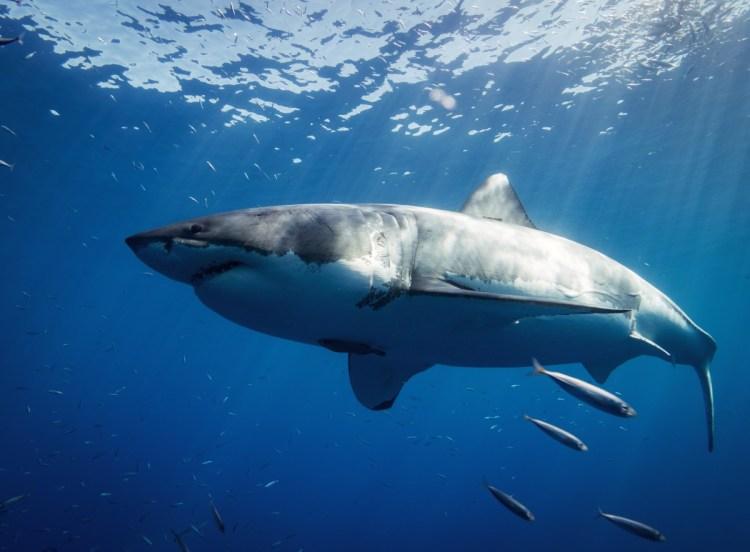 especies de tiburones: gran tiburon blanco