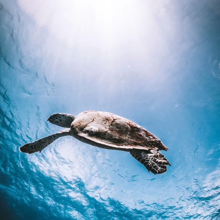 diving-tenerife-turtle