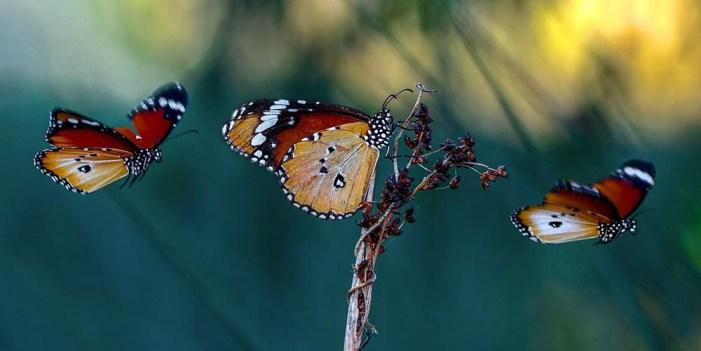 En riesgo, migración de la mariposa Monarca y su función polinizadora