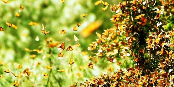 En peligro proceso migratorio de la #MariposaMonarca