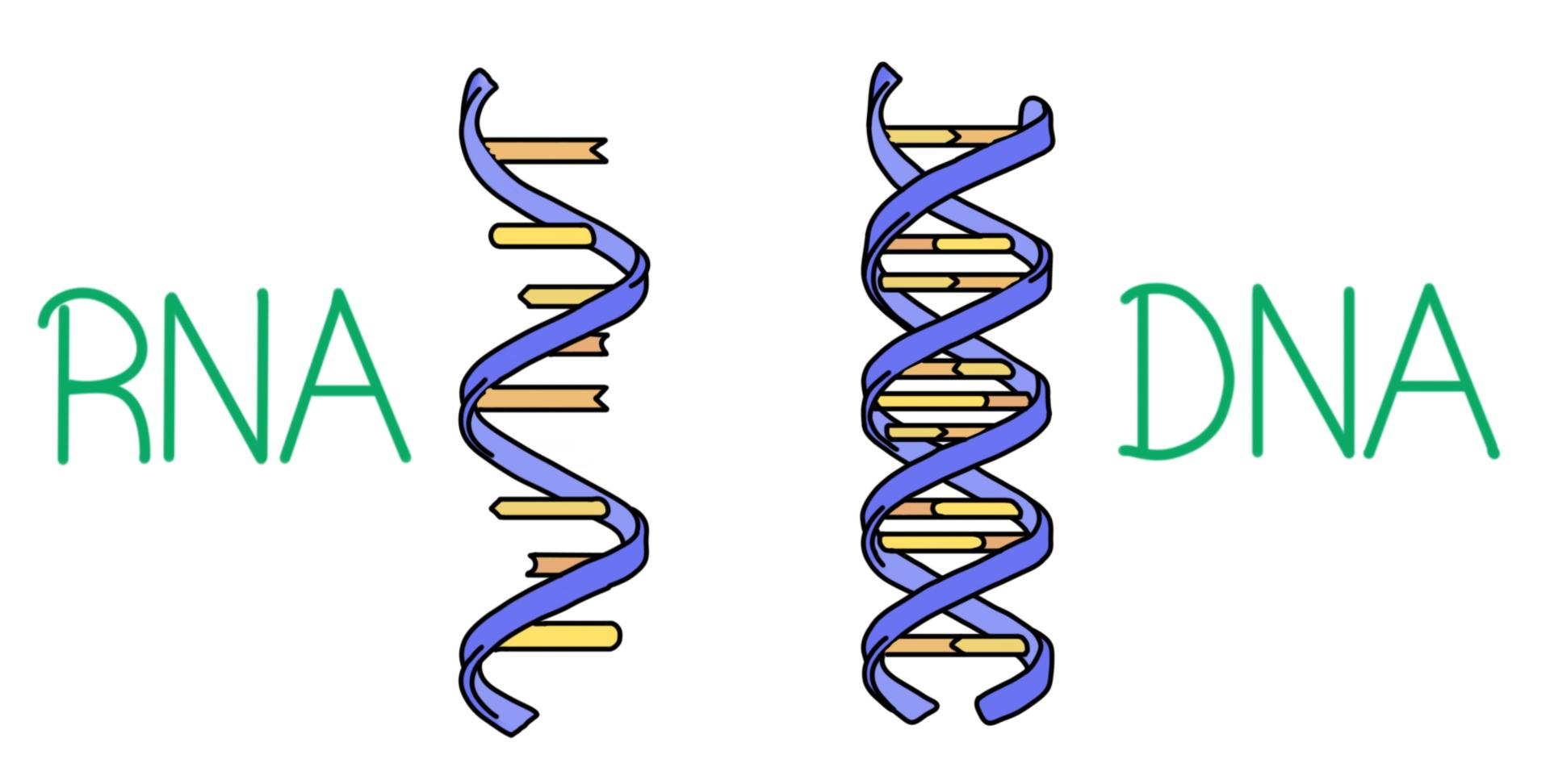 hight resolution of a diagram of rna and dna