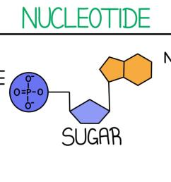 a diagram of a nucleotide it consists of a phosphate group sugar and [ 1920 x 972 Pixel ]