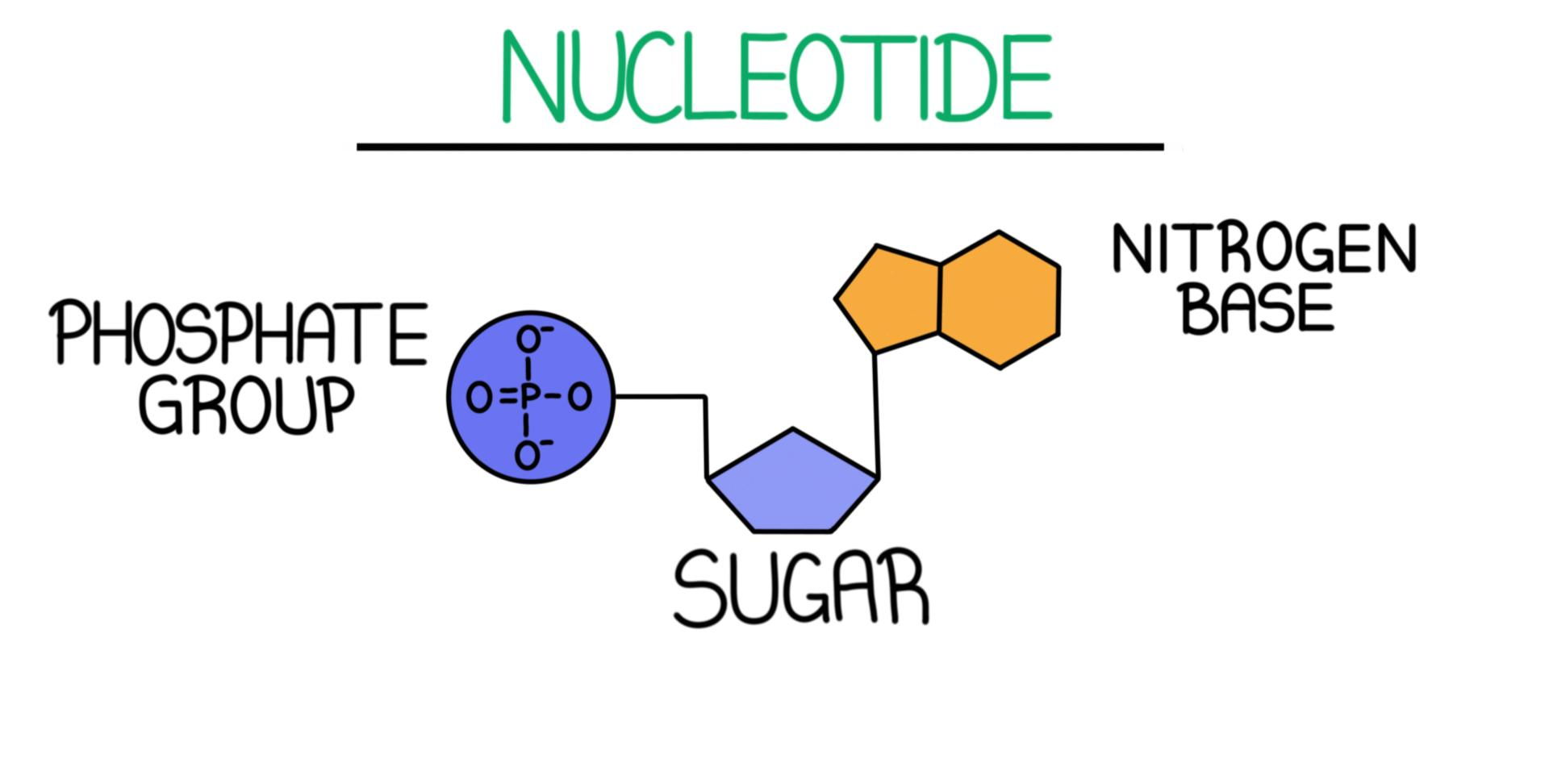 hight resolution of a diagram of a nucleotide it consists of a phosphate group sugar and