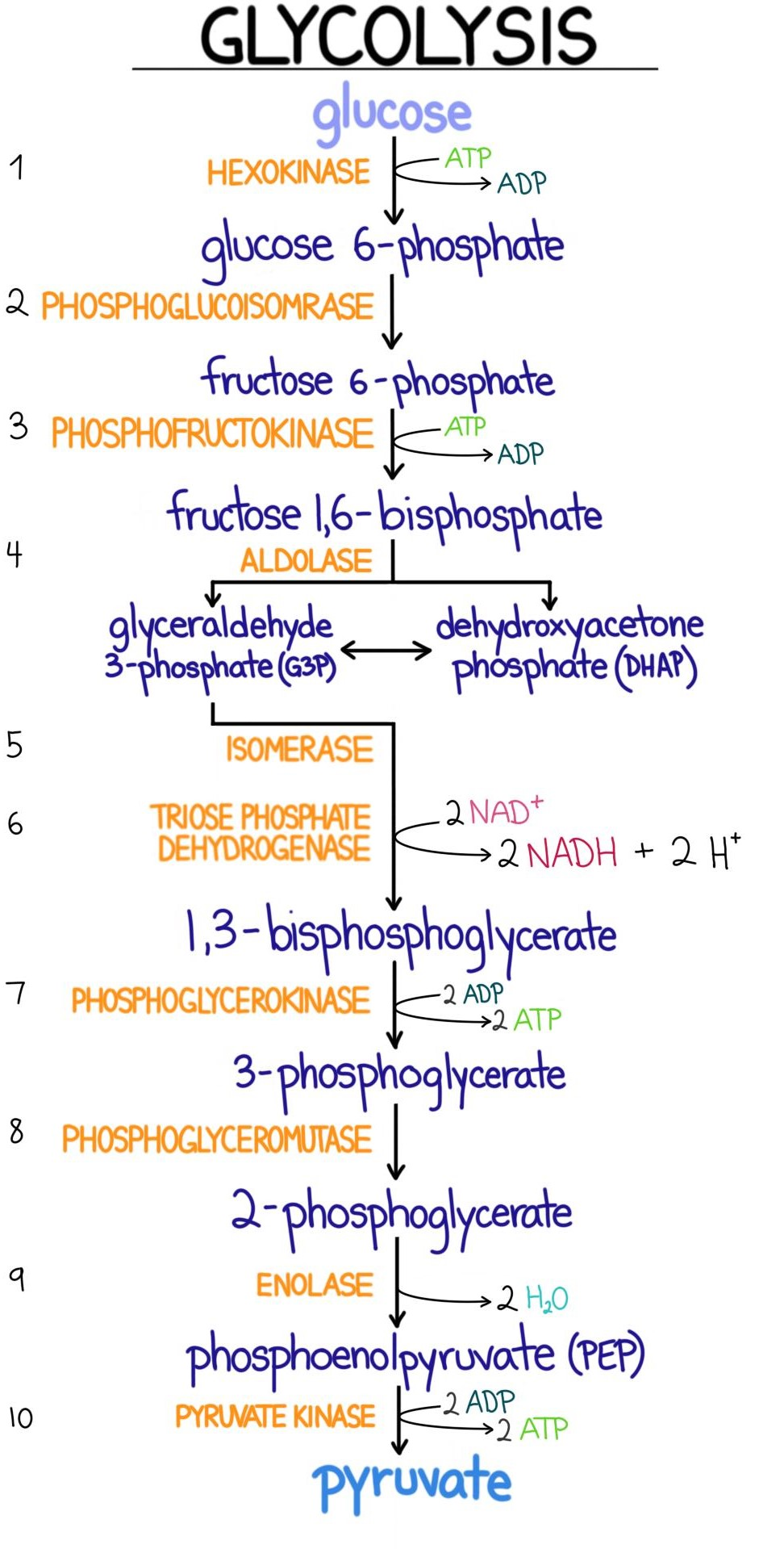 hight resolution of a diagram showing the reactions and energy balance in glycolysis