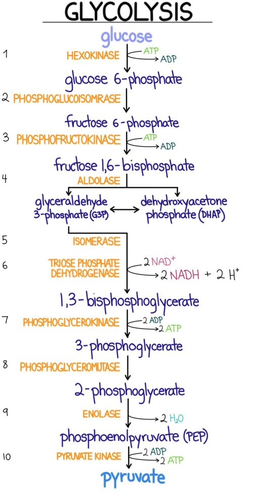 small resolution of a diagram showing the reactions and energy balance in glycolysis