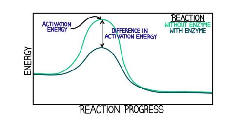 small resolution of a diagram showing the difference in activation energy between a reaction without and enzyme and with