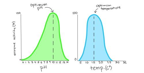 small resolution of two graphs showing the level of activity for a certain enzyme at different ph and temperatures