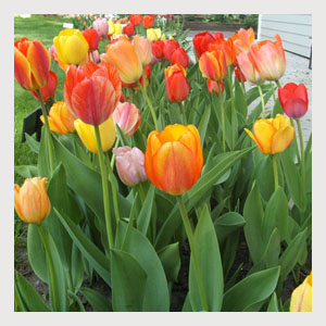 Mixed Color Tulips (25 Bulbs)
