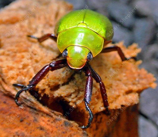 Yellow Scarab Beetle (Chrysina sp) 00038