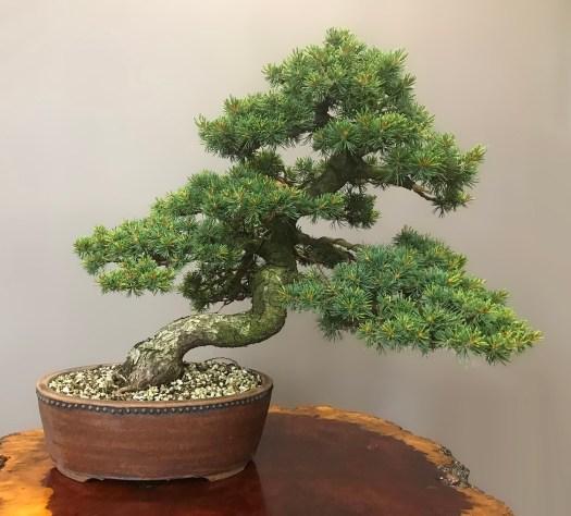 ZUISHO JAPANESE WHITE PINE - SOLD -