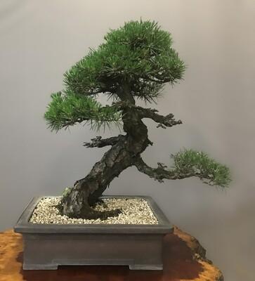 KOTOBUKI JAPANESE BLACK PINE