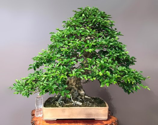 KOREAN HORNBEAM - SOLD -