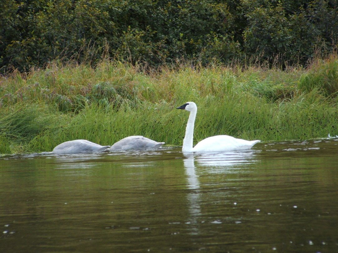 Trumpeter swan and cygnets (baby swans)