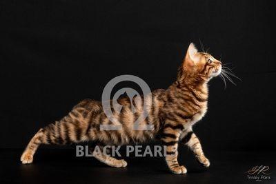 BLACK PEARLS OPAL  ♀