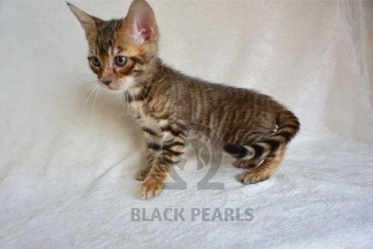 BLACK PEARLS T_02♀