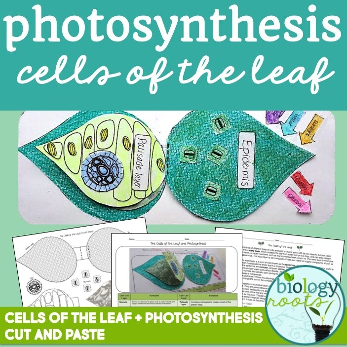 Photosynthesis Cells of the Leaf Model