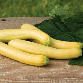 Yellow Summer Squash Vegetable Plant