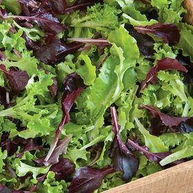 Multi-Color Lettuce Vegetable Plant