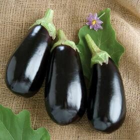 Eggplant Vegetable Plant